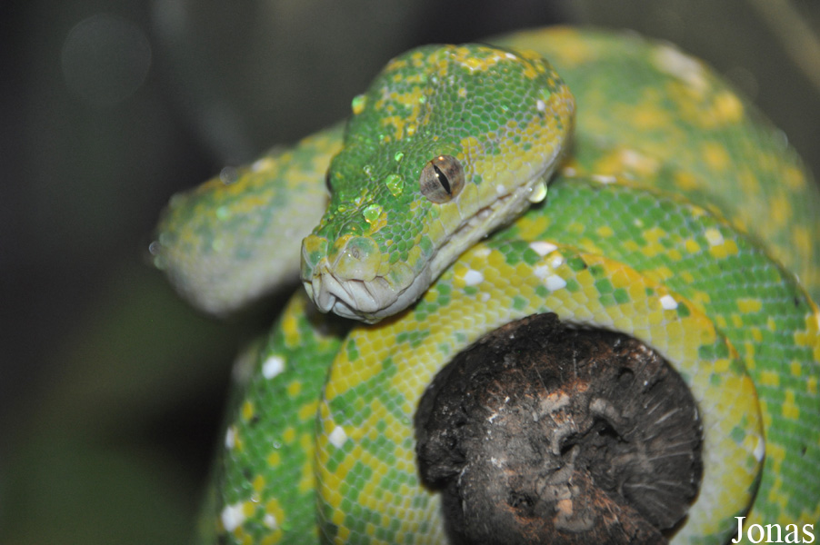 Morelia viridis / Los Angeles Zoo