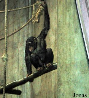Chimpanzé d'Afrique occidentale